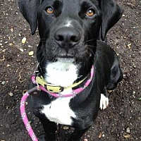 Labrador Retriever/Great Dane Mix Dog for adoption in Rockaway, New Jersey - Trigger