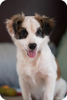 Terrier (Unknown Type, Small) Mix Puppy for adoption in Sagaponack, New York - Max