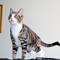 American Shorthair Cat for adoption in Santa Monica, California - Drew