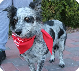 Cattle Dog/Australian Cattle Dog Mix Dog for adoption in Las Vegas, Nevada - LUCKY DOG