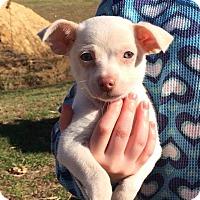 Adopt A Pet :: Chip - Providence, RI