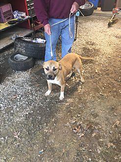 Boxer/Labrador Retriever Mix Puppy for adoption in Staunton, Virginia - Coco
