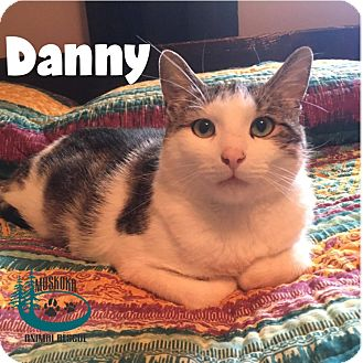 Domestic Shorthair Cat for adoption in Huntsville, Ontario - Danny w/Amber July 2017