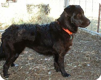 Flat-Coated Retriever Mix Puppy for adoption in Antioch, California - Woof