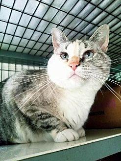 Siamese Cat for adoption in Eldora, Iowa - Neela