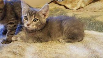 Domestic Shorthair/Domestic Shorthair Mix Cat for adoption in Mesa, Arizona - SUGAR BEAR