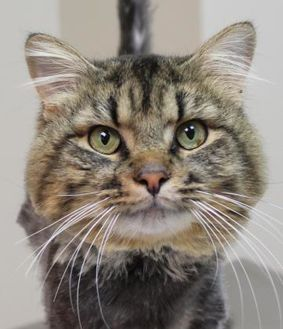 Maine Coon/Domestic Shorthair Mix Cat for adoption in Dodgeville, Wisconsin - Gallagher