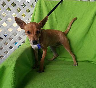 Chihuahua Mix Dog for adoption in San Antonio, Texas - Roux