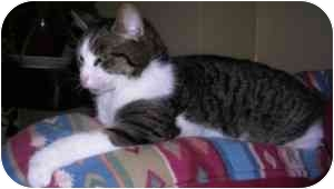 American Shorthair Cat for adoption in Cranston, Rhode Island - Cece