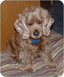 Cocker Spaniel Dog for adoption in Macon, Georgia - Archie