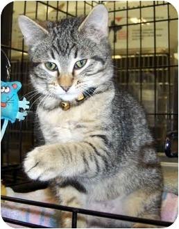 Domestic Shorthair Kitten for adoption in Overland Park, Kansas - Matt