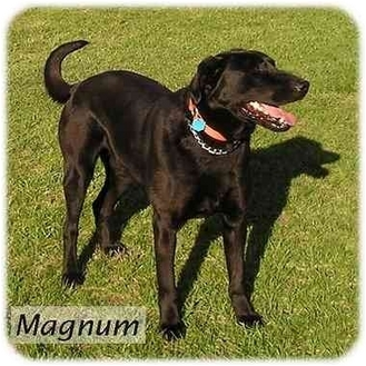 Labrador Retriever Mix Dog for adoption in Harlan, Iowa - Magnum
