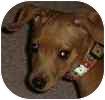 Miniature Pinscher Dog for adoption in Hamilton, Ontario - Tilly