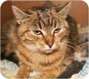 Domestic Shorthair Kitten for adoption in Walker, Michigan - Cuteness