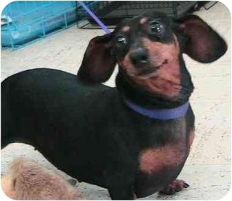 Dachshund Dog for adoption in Poway, California - Minuz