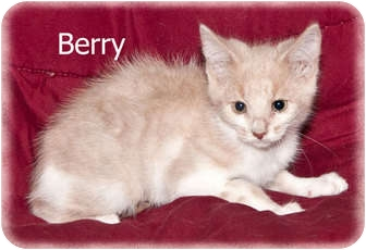 Domestic Shorthair Kitten for adoption in Brighton, Michigan - Berry