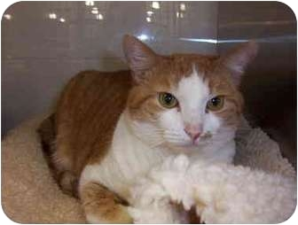 Domestic Shorthair Cat for adoption in San Diego/North County, California - Lucy