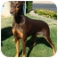 Photo 3 - Doberman Pinscher Dog for adoption in Las Vegas, Nevada - Lucy