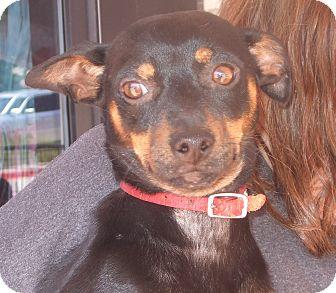 Miniature Pinscher Mix Dog for adoption in CLARKSVILLE, Texas - ALFIE