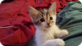 Domestic Shorthair Kitten for adoption in Gainesville, Florida - Twiggy