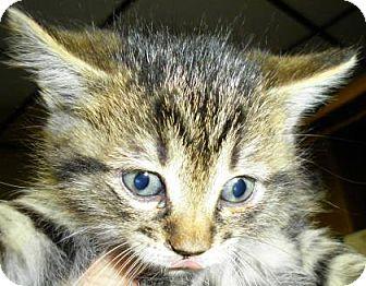 Domestic Shorthair Kitten for adoption in Lincolnton, North Carolina - Fred