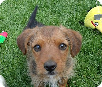 Dachshund/Terrier (Unknown Type, Small) Mix Puppy for adoption in Liberty Center, Ohio - Bianca