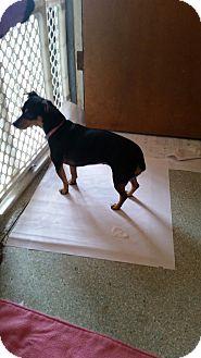 Miniature Pinscher/Dachshund Mix Dog for adoption in Gustine, California - IZZY