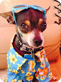 Chihuahua Dog for adoption in Los Angeles, California - Guido 3.5 lbs.