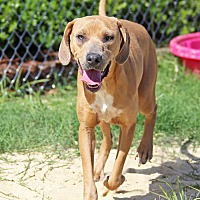 Labrador Retriever/Vizsla Mix Dog for adoption in Orange Lake, Florida - Sallie