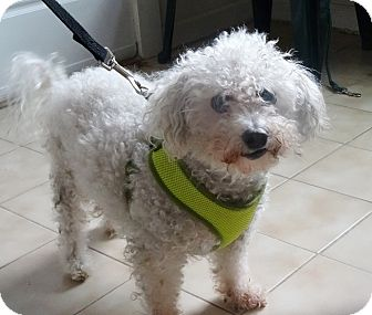 Poodle (Miniature) Mix Dog for adoption in Freeport, New York - Boggie