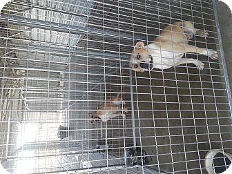 Boxer/Anatolian Shepherd Mix Dog for adoption in Ardmore, Oklahoma - Johnna