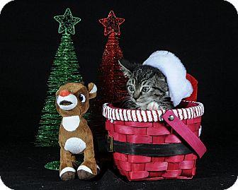 Domestic Shorthair Kitten for adoption in Wayne, New Jersey - Regina