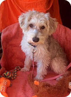 Terrier (Unknown Type, Small)/Poodle (Miniature) Mix Puppy for adoption in Corona, California - BABY