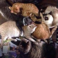 Adopt A Pet :: Lots of Cats! - Sunset, LA