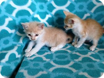 Domestic Shorthair Kitten for adoption in Thomaston, Georgia - 4runners