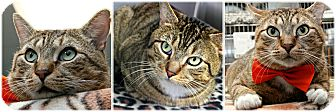 Domestic Shorthair Cat for adoption in Forked River, New Jersey - Mufasa