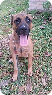 Mastiff Mix Dog for adoption in Killeen, Texas - Skippy
