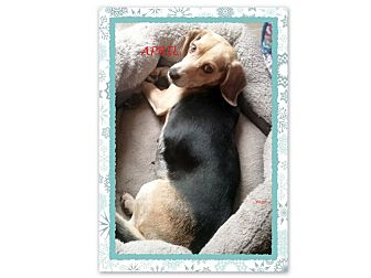 Beagle Dog for adoption in Ventnor City, New Jersey - APRIL