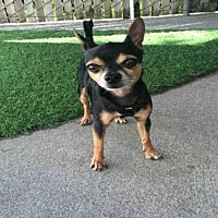 Adopt A Pet :: WHODINI - Alameda, CA