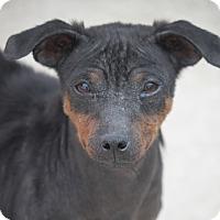 Adopt A Pet :: Allie-gator - Cranston, RI