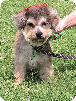 Lhasa Apso/Toy Poodle Mix Dog for adoption in Santa Fe, Texas - Houdini