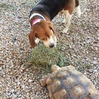Adopt A Pet :: Charlie Samuel - Phoenix, AZ