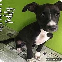 Terrier (Unknown Type, Medium) Mix Puppy for adoption in San Antonio, Texas - TEDDY