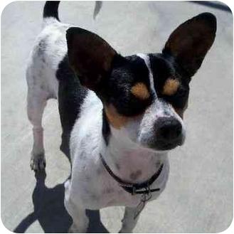 Rat Terrier Dog for adoption in San Pedro, California - Theo