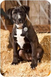 Labrador Retriever/Pointer Mix Puppy for adoption in Portland, Oregon - Sable