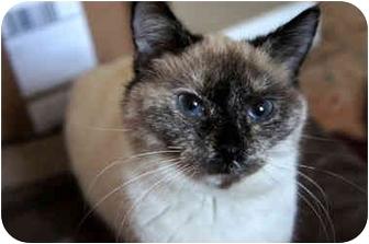 Siamese Cat for adoption in Xenia, Ohio - Matilda