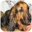 Photo 1 - Bloodhound Dog for adoption in Phoenix, Arizona - Chloe