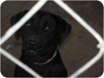 Labrador Retriever Dog for adoption in Altmonte Springs, Florida - Stevie