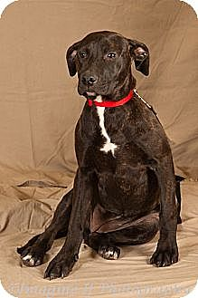 American Pit Bull Terrier Dog for adoption in Crescent, Oklahoma - Hera