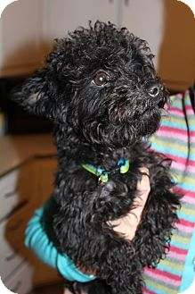 Poodle (Miniature)/Yorkie, Yorkshire Terrier Mix Dog for adoption in Medina, Tennessee - Toby